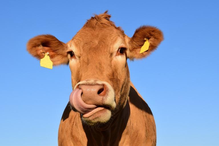 cow-1715829_1920.jpg