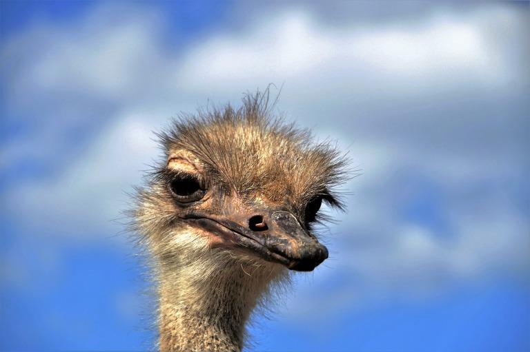 the-ostrich-1658260_1920.jpg