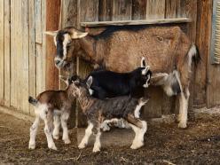 goats-2052735_1920.jpg